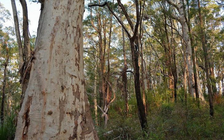 Эвкалиптовые леса Австралии
